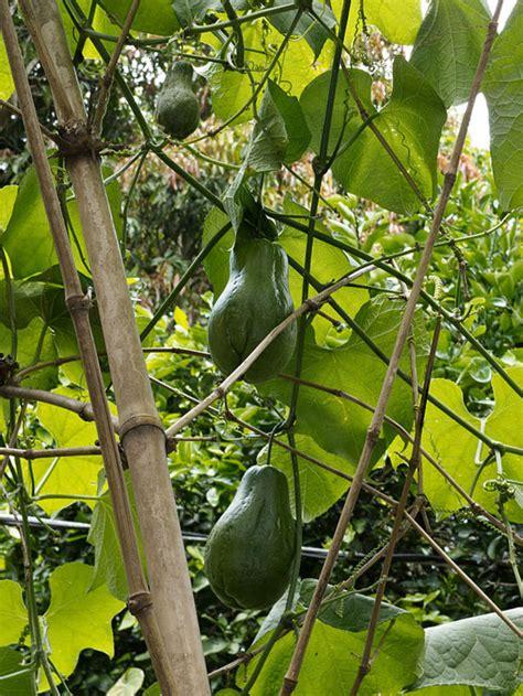 tayota in english chocho caribbean dictionary