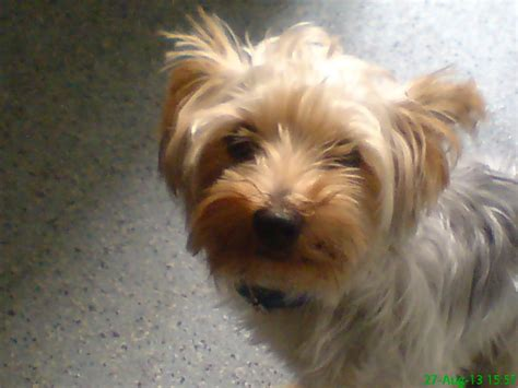 9 month yorkie silver and yorkie pup 9 months sheffield south pets4homes