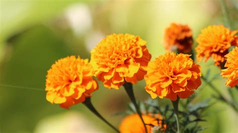 flowers marigold orange flower wallpaper 1920x1080 cool pc wallpapers