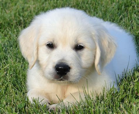 golden retriever breeders new golden retriever puppies new dogs our friends photo