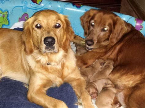 golden retrievers for sale in louisiana golden retriever puppies sale louisiana dogs in our photo