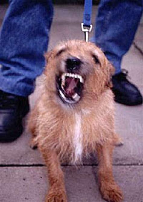 leash aggression in dogs aggression or leash reactivity