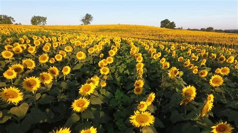 sunflower farm flying over grinter s sunflower farm youtube