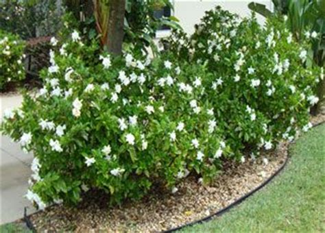 Gardenia For Sale Gardenias Search And Of On