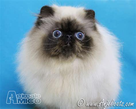 cuccioli gatti persiani vendita cucciolo persiano da privato a catania cuccioli