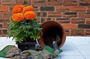 Pupuk Untuk Bunga Marigold cara menanam bunga marigold dan perawatannya