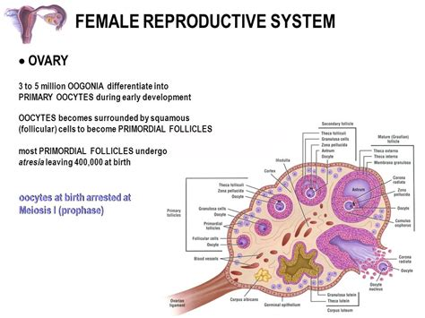 FEMALE REPRODUCTIVE SYSTEM - ppt download Meiosis Stages