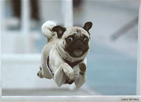 pug running american flyball association contacts