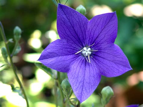 On The Eve Of Sri Dilip Kumar Roy S 118th Birth Blue Flower