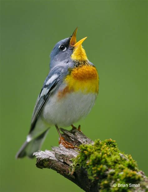 northern parula beautiful songbird may i have this one