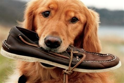 why do dogs chew why do dogs chew shoes