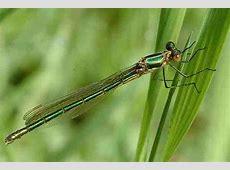 Lestes viridis Eu
