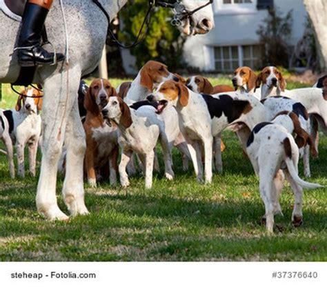 american foxhound wesen bilder und infos zur rasse