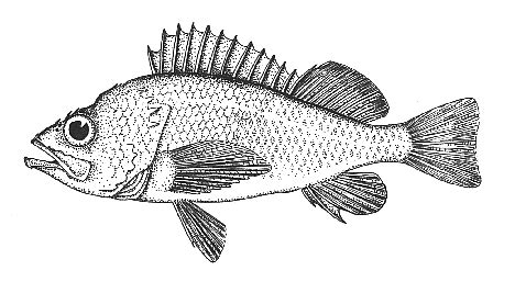 coloring pages of cod fish cod fish coloring pages sketch coloring page