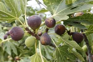 why is my fig tree not producing fruit growing figs in alabama extension daily