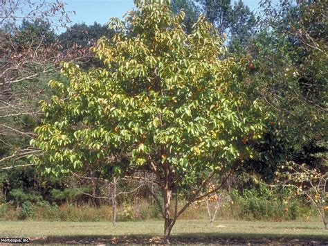 Home Remodel Tips by Grow A Persimmon Tree Hgtv