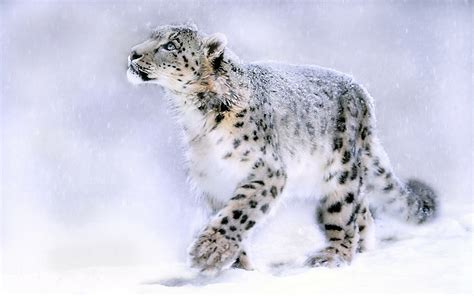 wallpaper mac leopard hd snow leopard wallpapers hd pictures one hd wallpaper