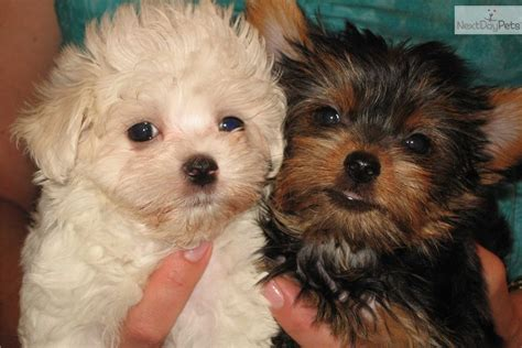 yorkie maltese puppy brown maltese puppies www imgkid the image kid has it