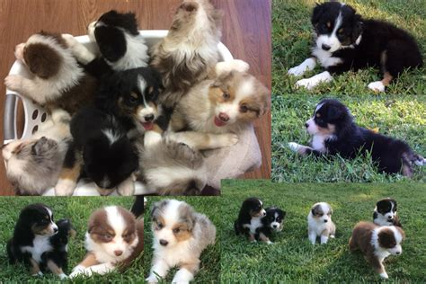 aussie puppies for sale in australian shepherd puppies for sale the pulse