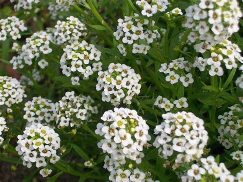 flowers photo tiny white flowers in bloom light tiny white flower clusters by galadri on deviantart