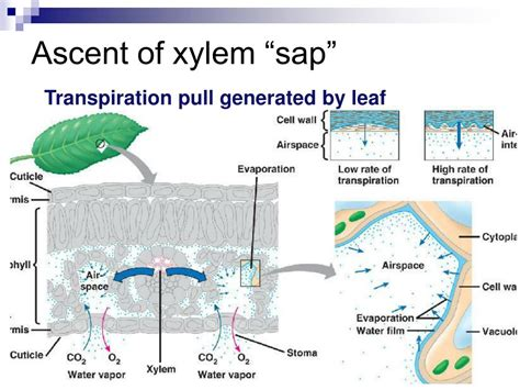 transport  plants chapter  powerpoint  id