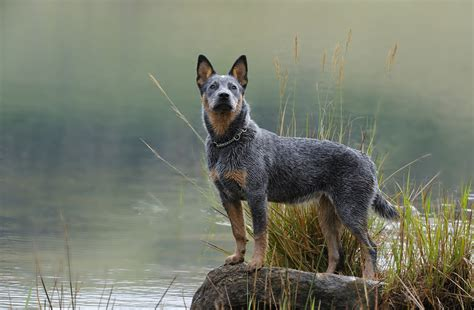 cattle dogs australian cattle breed gallery
