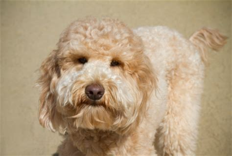 goldendoodle puppy traits goldendoodles temperament personality