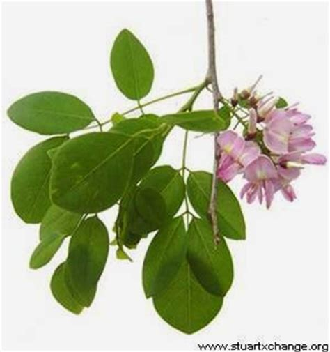 contoh tanaman berdaun majemuk monica tancania