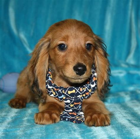 haired dachshund puppies nc dachshund breeders nc dachshund breeder nc carolina dachshunds for