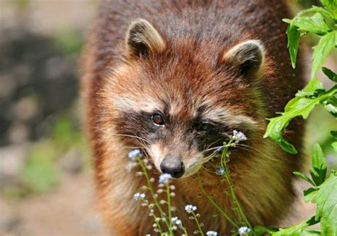 what color are raccoons blond and raccoons hubpages