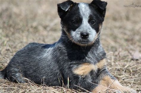 mini australian cattle puppies for sale australian cattle puppies black australian cattle puppies for sale just
