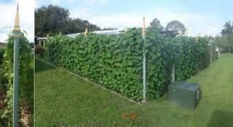 fast growing vine for privacy trellis