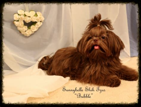 choco liver shih tzu for sale gorgeous akc liver chocolate shih tzu puppies for sale with chion bloodlines