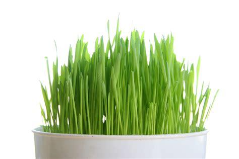 Wellness Wheat Grass health benefits from wheatgrass mindlify