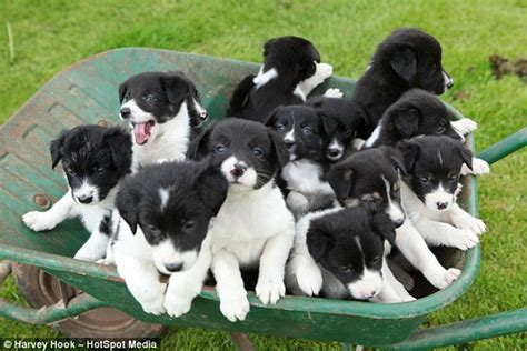how many puppies in a litter the sheepdog gives birth to adorable 14 pup litter so big they to be carted