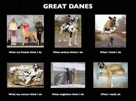 Great Dane Meme - what everyone thinks of great danes my puppy girls