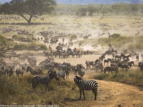 zebra migration pattern interesting facts about zebras just fun facts