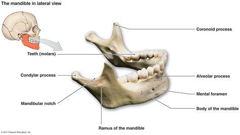 mandible diagram skeletal studyblue
