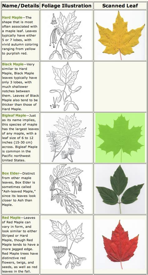 maple trees identification and wildlife along the buffalo river nature