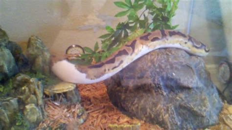 Python Bedding by Python Piebald Lower White Enclosure With Cypress