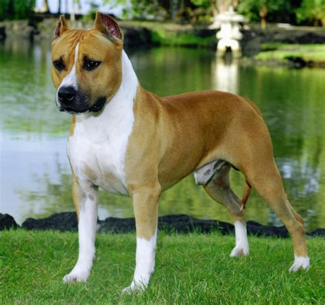 staffordshire terrier puppy american staffordshire terrier dogs breeds pets