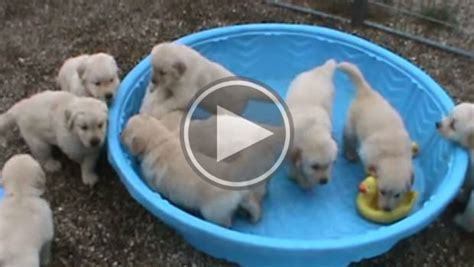 puppies in pool addiction on cuteness