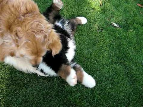 Bernese Mountain puppy and Golden Retriever playing - YouTube