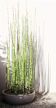 Merveilleux Planter Des Bambous En Pot #1: planter-des-bambous-planter-bambou-en-pot3.jpg