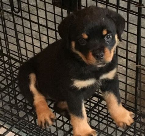rottweiler for adoption healthy rottweiler puppies for adoption offer marsa 400
