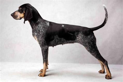 blue tick coon hound puppy bluetick coonhound puppy dogs breeds picture