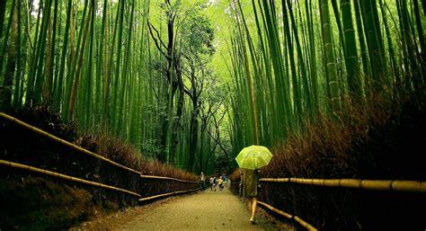 imagenes bambu japones reflexi 243 n con el crecimiento del bamb 250 japon 233 s