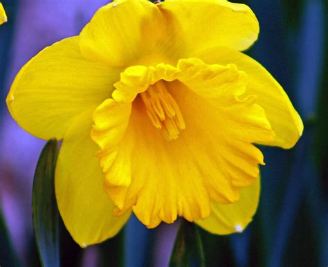 daffodil yellow yellow spring daffodil photograph by kay novy