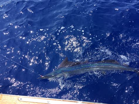 just got my pacific spearfish kona on northern - Northern Lights Boat Kona