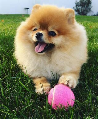 pomeranian costs how much does a pomeranian cost woof